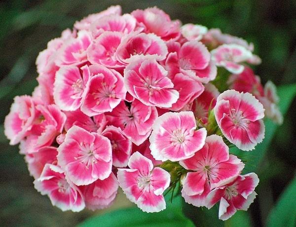 بنفشه گل درشت الوان